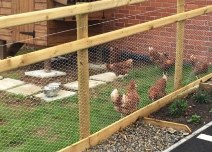Happy chickens foraging outside at Cartref Croeso Care Home, Carmarthenshire
